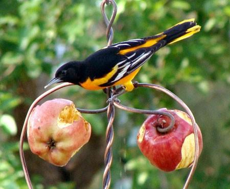 яблоки для птиц