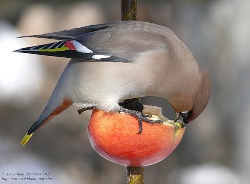 птица ест яблоко
