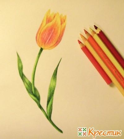 Как нарисовать распустившийся тюльпан карандашом